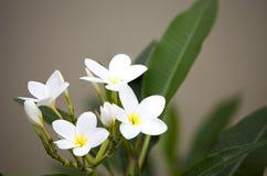 Biały frangipani kwitnie na blanch Obraz Stock