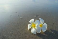Biały frangipani na powierzchni piasek Fotografia Royalty Free