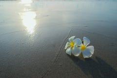 Biały frangipani na powierzchni piasek Zdjęcia Royalty Free