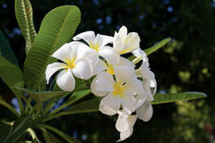 Biały frangipani Plumeria na drzewie Obraz Royalty Free