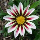 Biały gazania kwiat Fotografia Royalty Free