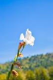 Biały gladiolus kwitnie na niebieskim niebie Zdjęcia Royalty Free