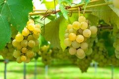 Biały gronowy winograd Fotografia Stock