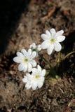 Biały hepatica zdjęcia stock