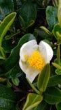 Biały herbaciany kwiat Obrazy Stock