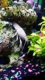 Biały homar Obraz Royalty Free