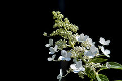 Biały Hortencia Zdjęcie Stock