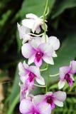 Biały i Ciemny - czerwona Motylia orchidea Obrazy Stock