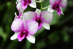 Biały i Ciemny - czerwona Motylia orchidea Zdjęcie Royalty Free