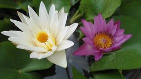 Biały i purpurowy lotos Zdjęcia Royalty Free