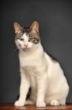 Biały i szary kot Fotografia Royalty Free