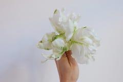 Biały i zielony tulipan Obraz Royalty Free