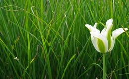 Biały i Zielony tulipan w ogródzie Fotografia Stock
