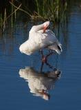 Biały ibis preens w swój swój odbiciu Obraz Stock