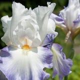 Biały Irysowy kwiat fotografia royalty free