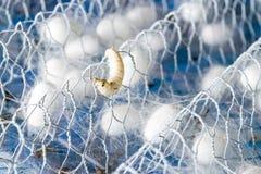 Biały jedwabniczy kokon Zdjęcie Stock