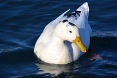 Biały kaczka profil Zdjęcia Royalty Free