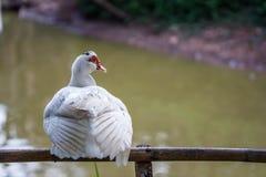 Biały kaczki obsiadanie na bambusa ogrodzeniu Zdjęcia Royalty Free