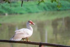 Biały kaczki obsiadanie na bambusa ogrodzeniu Zdjęcie Royalty Free
