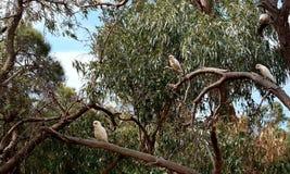 Biały kakadu chillin w gumtree Zdjęcia Stock