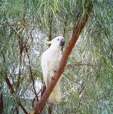 Biały kakadu w drzewie Obrazy Stock