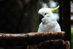Biały Kakak Tua ptak Fotografia Stock