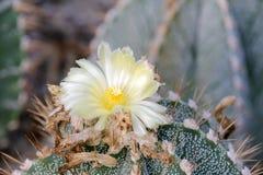 Biały kaktusowy kwiat Obraz Royalty Free