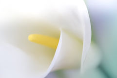 Biały kalia Zdjęcia Royalty Free