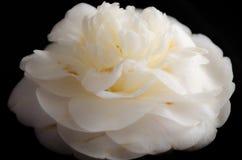 Biały kamelia Zdjęcie Stock