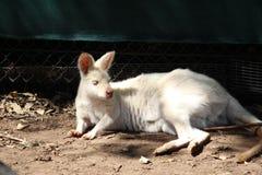 Biały kangur Fotografia Stock