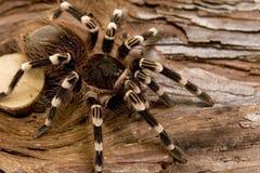 Biały Kolankowata Tarantula Zdjęcia Stock