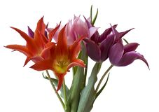 biały kolorowi odosobneni tulipany Zdjęcia Royalty Free