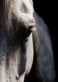 Biały konia oko Obraz Stock
