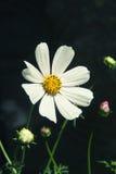 Biały kosmosu kwiat na ciemnym tle Zdjęcie Royalty Free