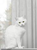 biały kot Zdjęcia Stock