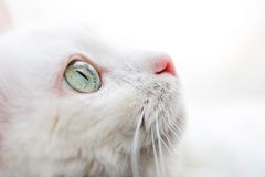 biały kot Obraz Royalty Free