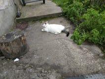 Biały kot! Zdjęcia Royalty Free