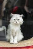 Biały kot Fotografia Royalty Free