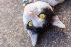 Biały kot na ziemi Fotografia Stock
