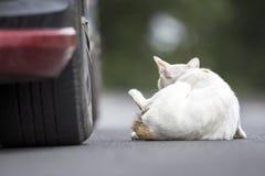 Biały kot obok samochodu Obraz Royalty Free