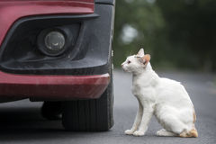 Biały kot obok samochodu Fotografia Stock