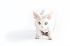 Biały kot patrzeje fotografa Zdjęcia Stock