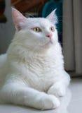 Biały kot siedzi na ziemi Obraz Stock