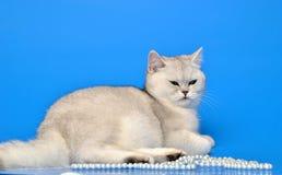 Biały kot z koralikami Obrazy Stock