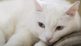 Biały kot z zielonymi oczami Zdjęcia Stock