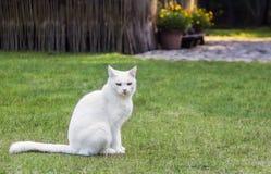 Biały kota obsiadanie na zielonej trawie Zdjęcie Stock