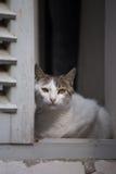 Biały kota obsiadanie w drewnianym okno i dopatrywaniu Zdjęcia Stock