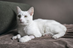 Biały kota portret Zdjęcia Royalty Free