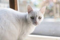 Biały kota portret Obraz Stock
