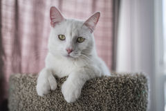 Biały kota portret Obraz Royalty Free